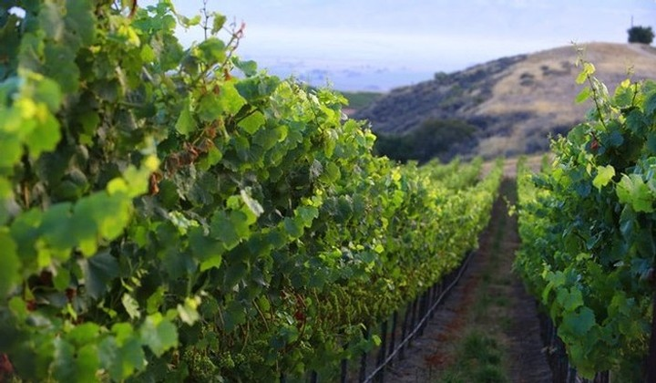 Row of grape vines in vineyard.