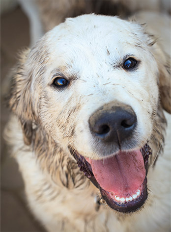 Close up of white dog with mud on is face